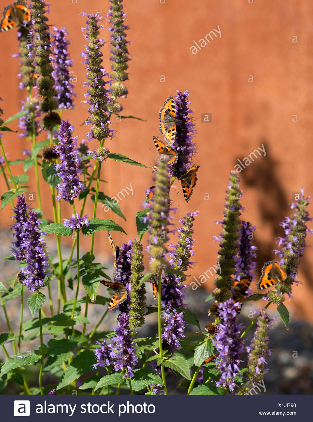 Germany, Aachen, blue fortune and small tortoiseshell butterflies - Stock Image