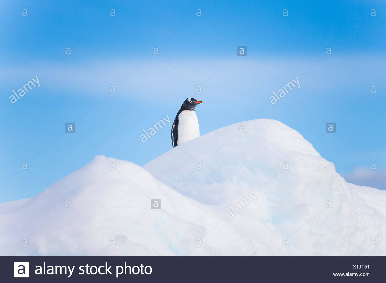 A lone penguin sits on top of an iceberg in Antarctica. - Stock Image