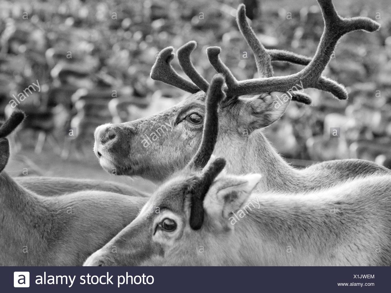 Sweden, Lapland, Levas, Close-up of herd of reindeer (Rangifer tarandus) - Stock Image