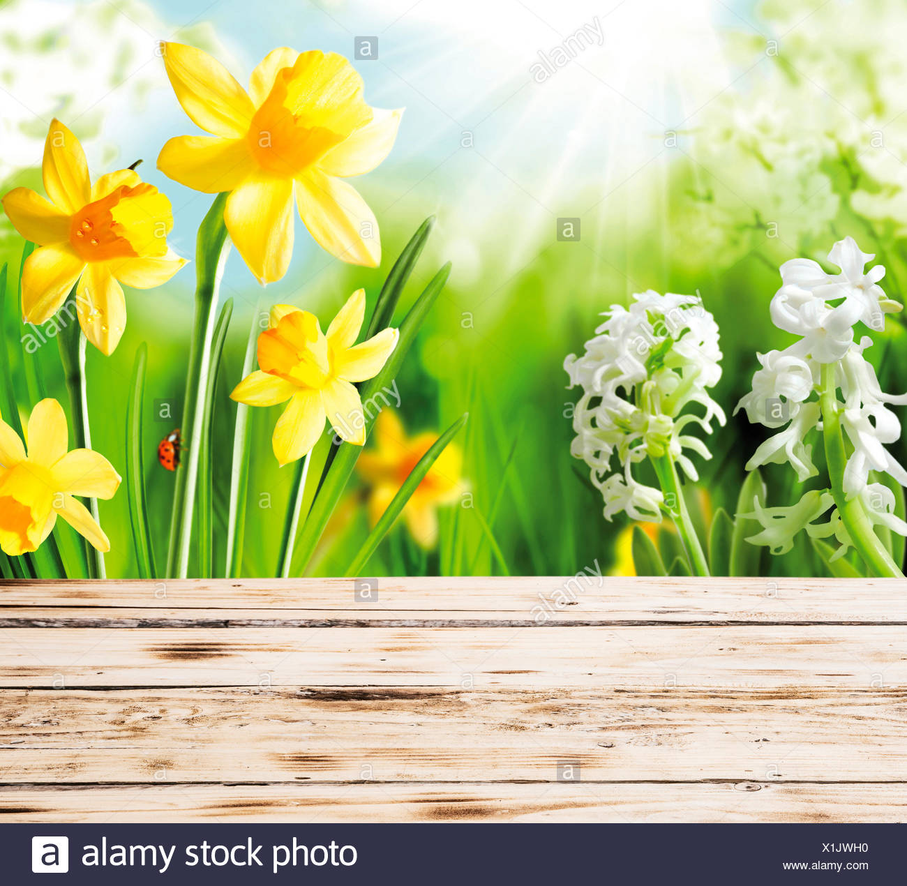 Colourful yellow spring daffodils and hyacinths with a red ladybug on the stem peeping over the top of a rustic wooden fence or tabletop on a hot sunny day Stock Photo