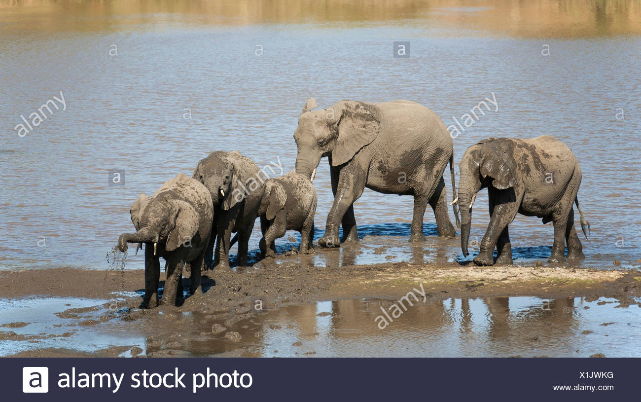 African Elephants (Loxodonta africana) herd drinking and mud-bathing in the Shingwedzi River, Kruger National Park, South Africa Stock Photo