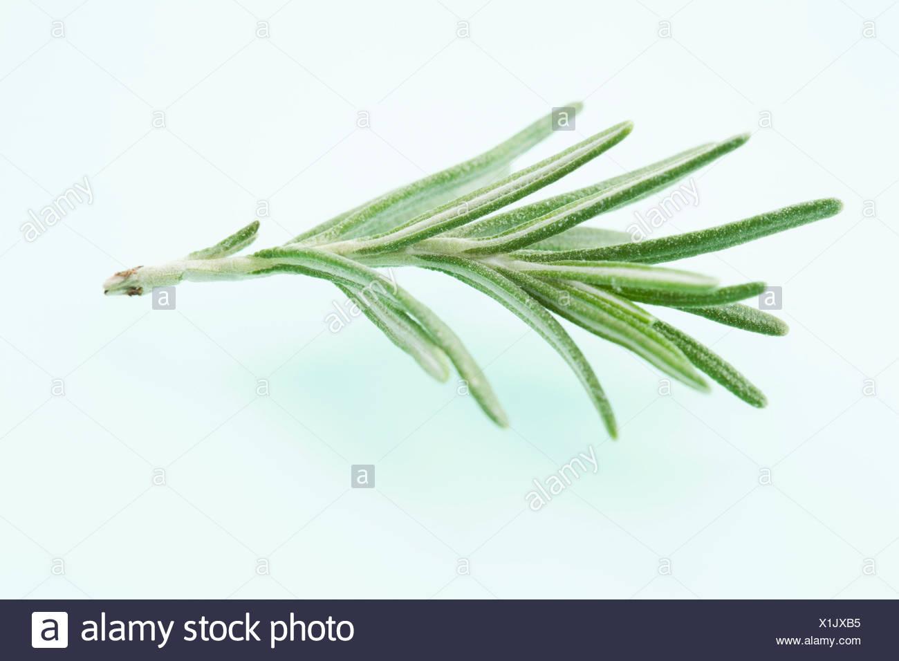 Rosemary on coloured background, close up - Stock Image