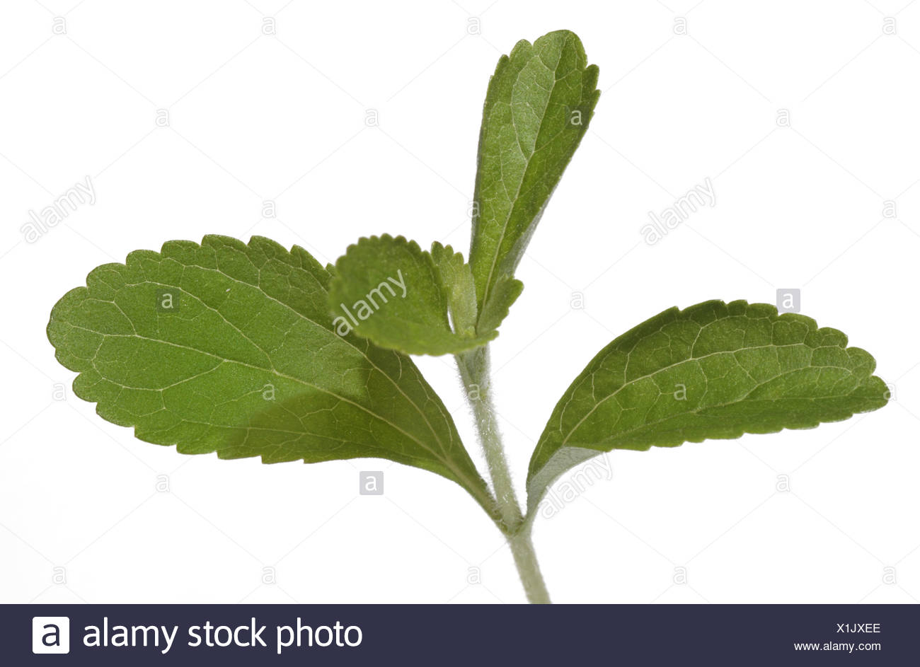 Berlin, Germany, Close up of a stevia - Stock Image