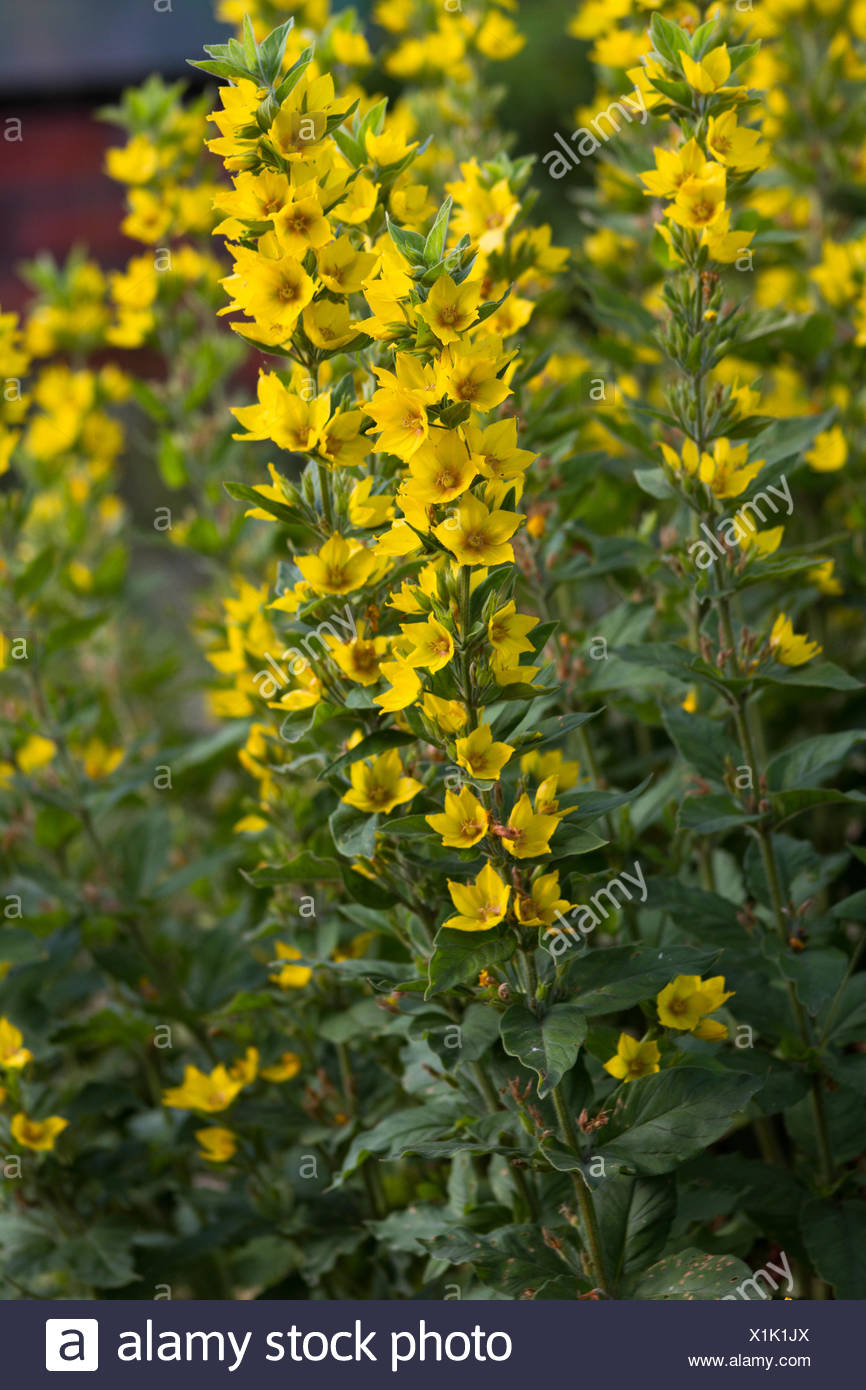 Yellow garden flowers Lysimachia vulgaris - Garden