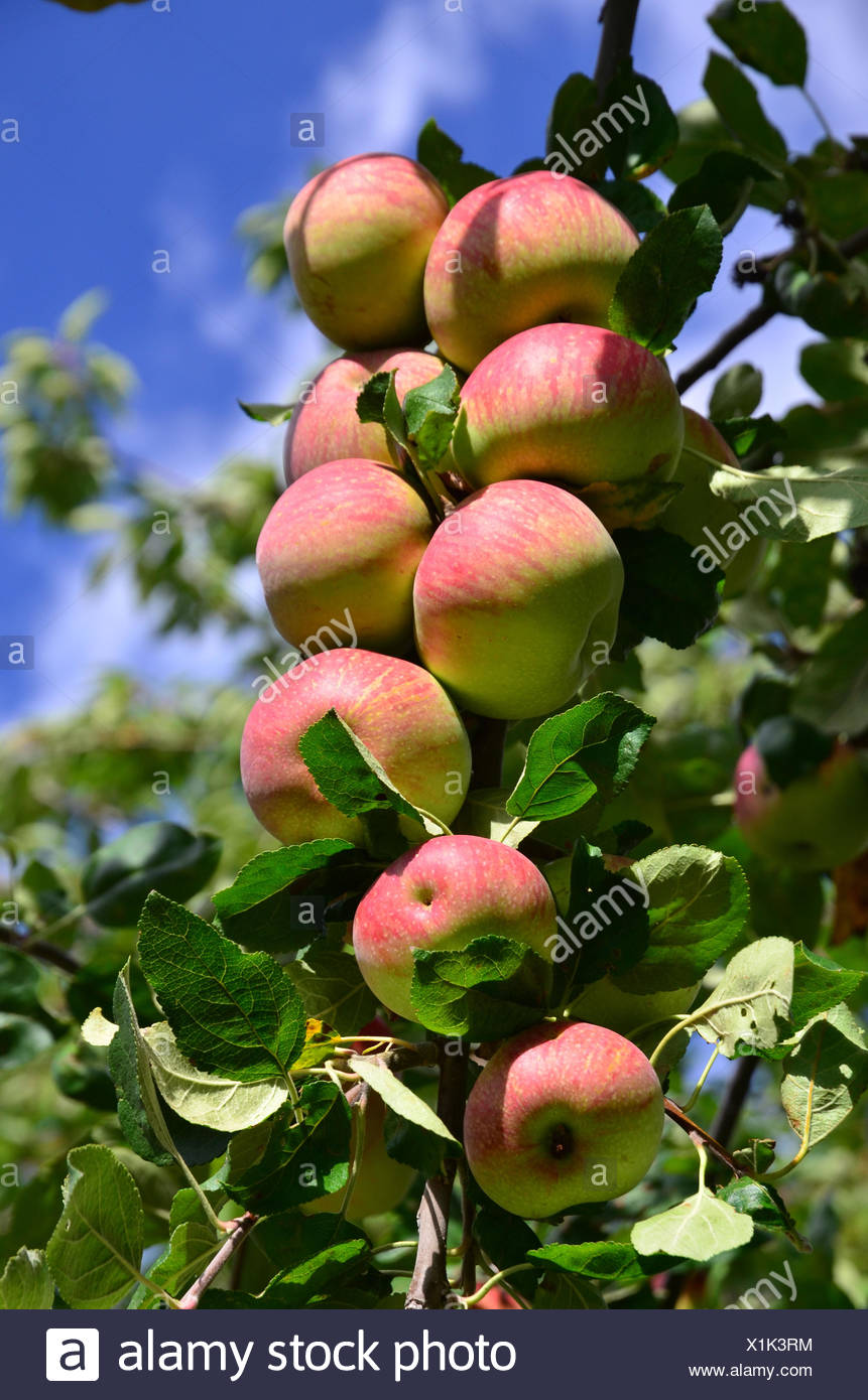 fruit tree, apple tree, branch, fruits, - Stock Image