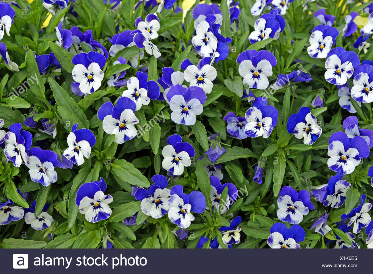 Europe Italy Pansy Pansies Flowers Patterns Plants Stock Photo