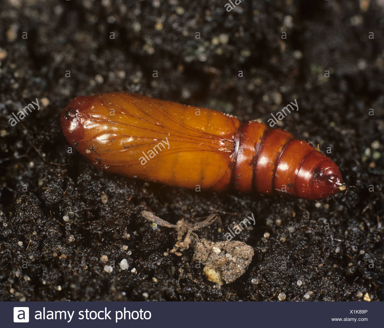 Pupa case stock photos pupa case stock images alamy for American soil