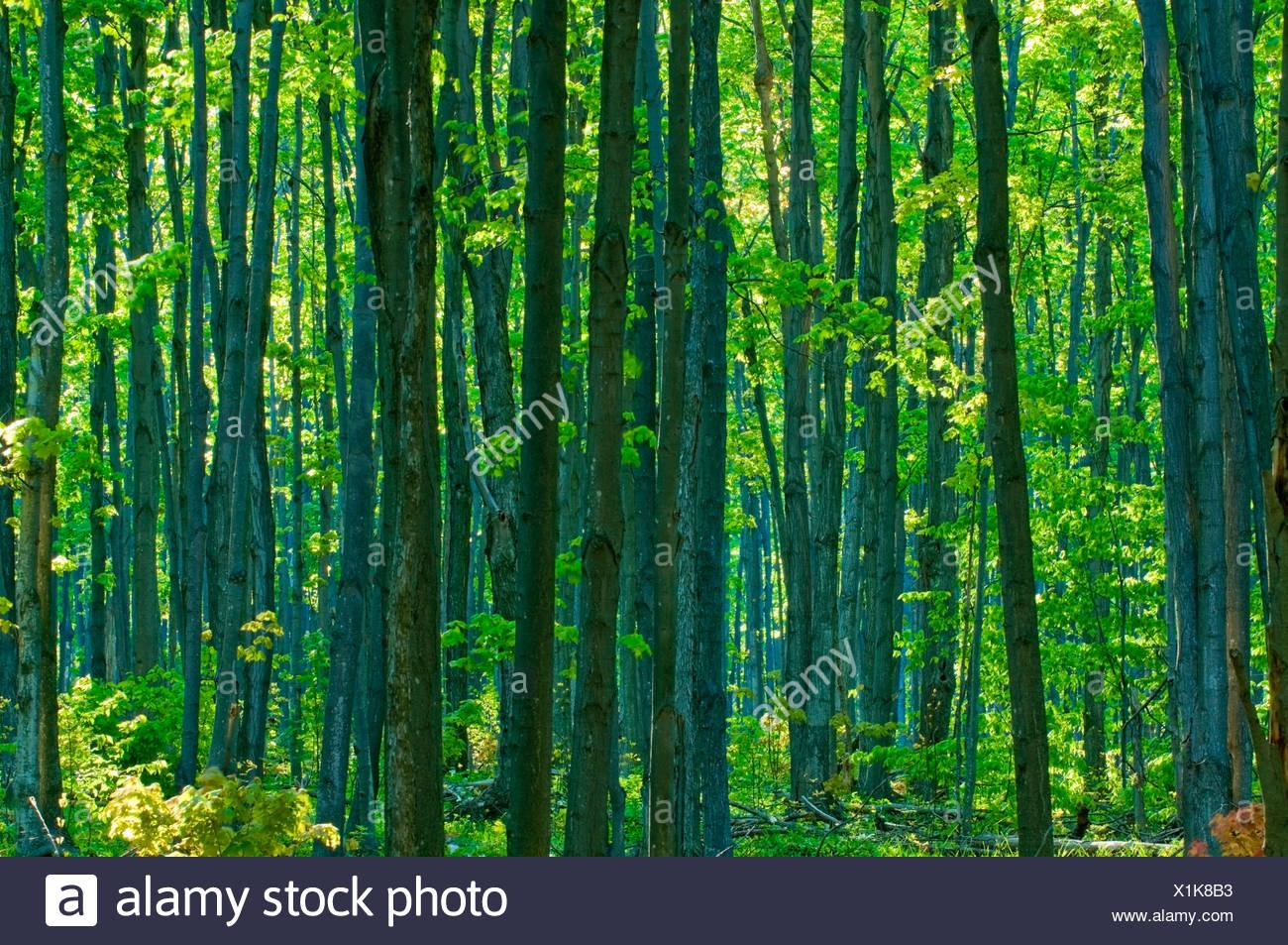 Inside a hardwood forest in the spring, Niagara Escarpment, Bruce Peninsula near Wiarton, Ontario, Canada - Stock Image