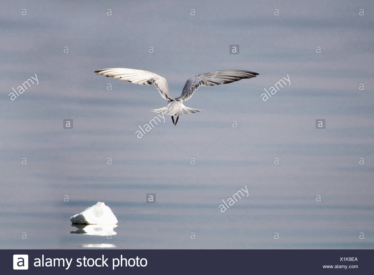 Gulls or seagulls are seabirds of the family Laridae in the sub-order Lari. Stock Photo