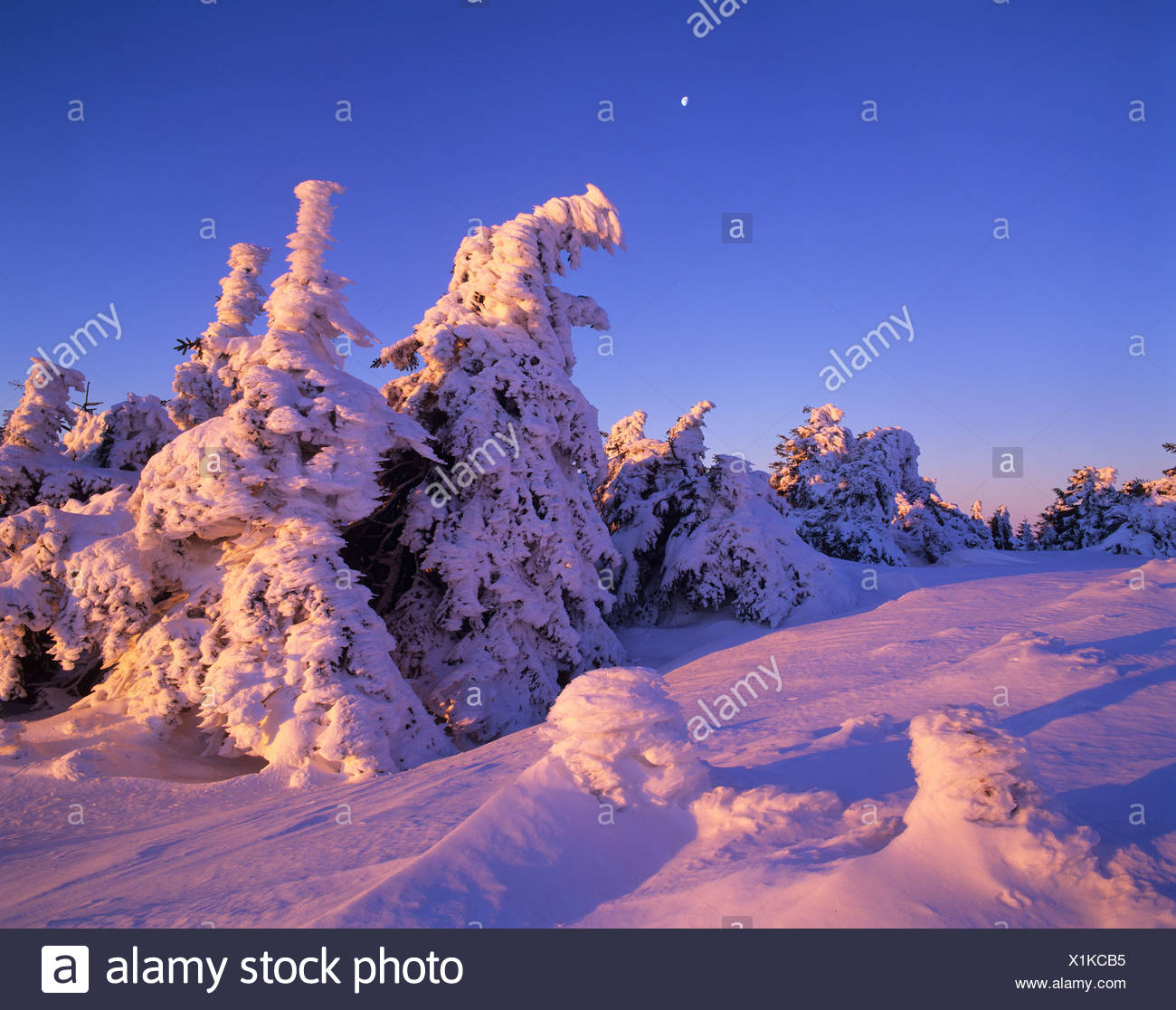 Snow-covered spruce trees on Brocken Mountain at sunset with the moon in the sky, Brocken, Harz National Park, Saxony-Anhalt - Stock Image