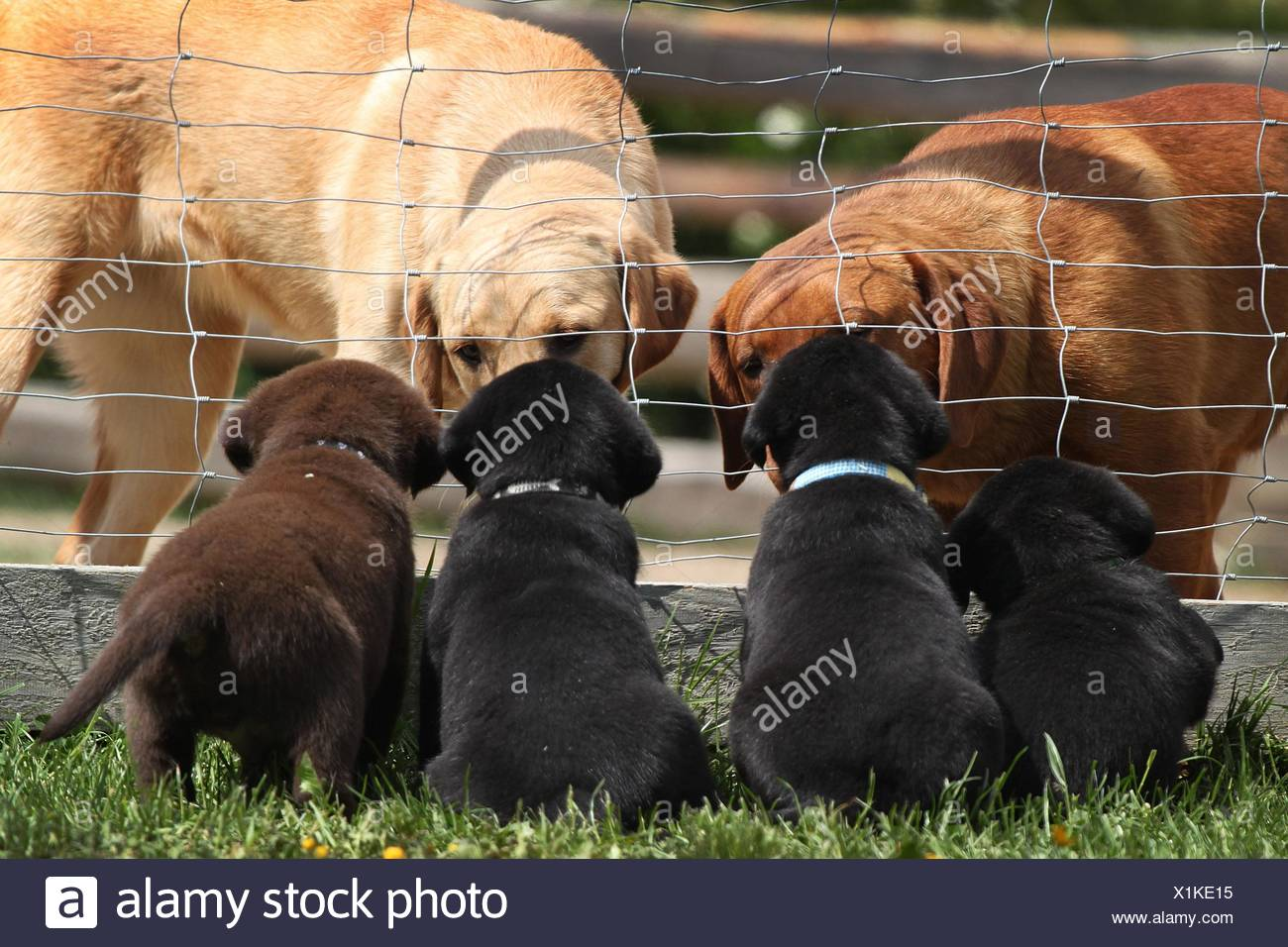 Labrador Retriever Puppies - Stock Image