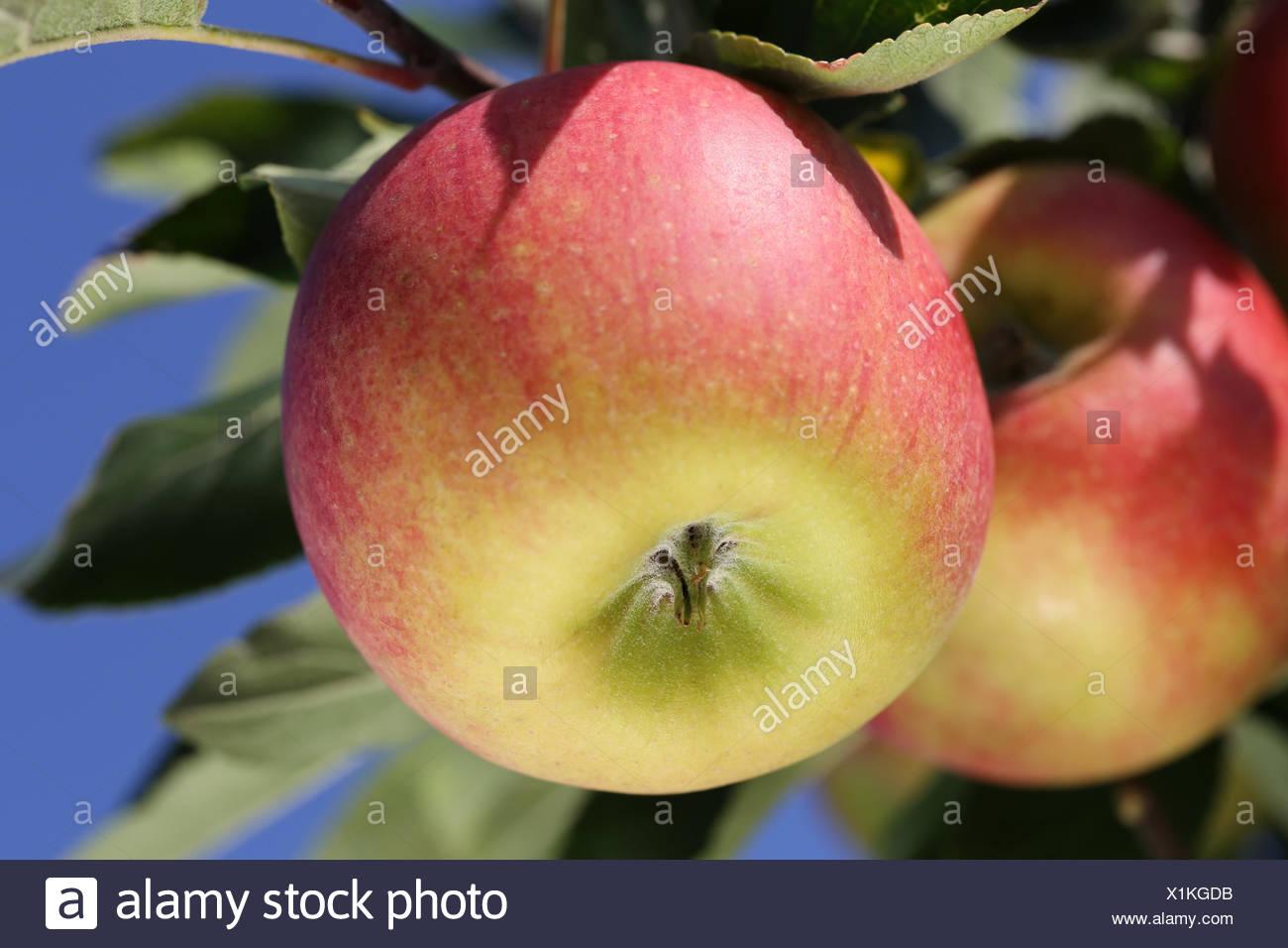 Reife Zeit des Apfelbaums