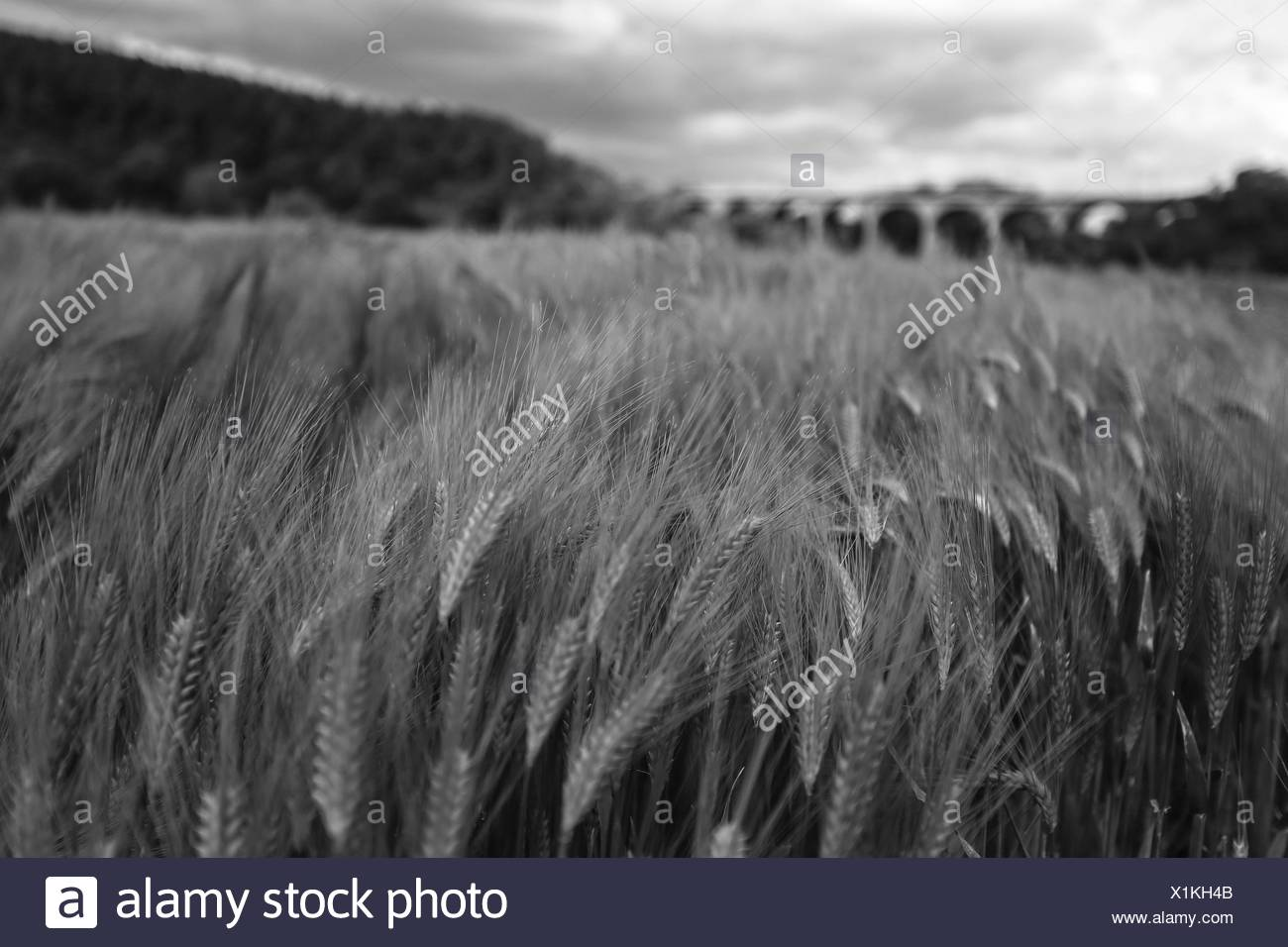 Scenic View Of Wheat Field Against Sky - Stock Image