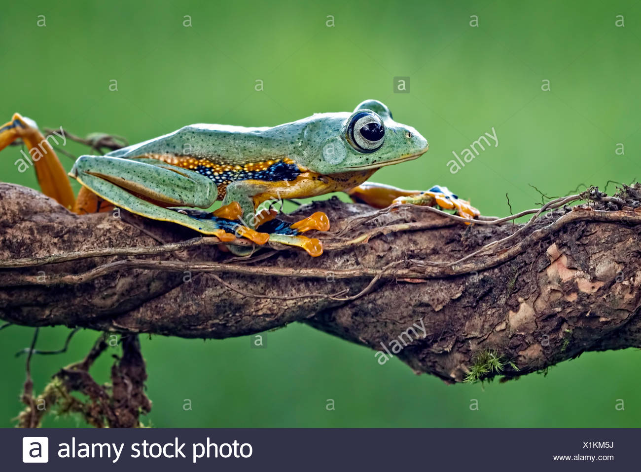 Frog sitting on a branch Stock Photo