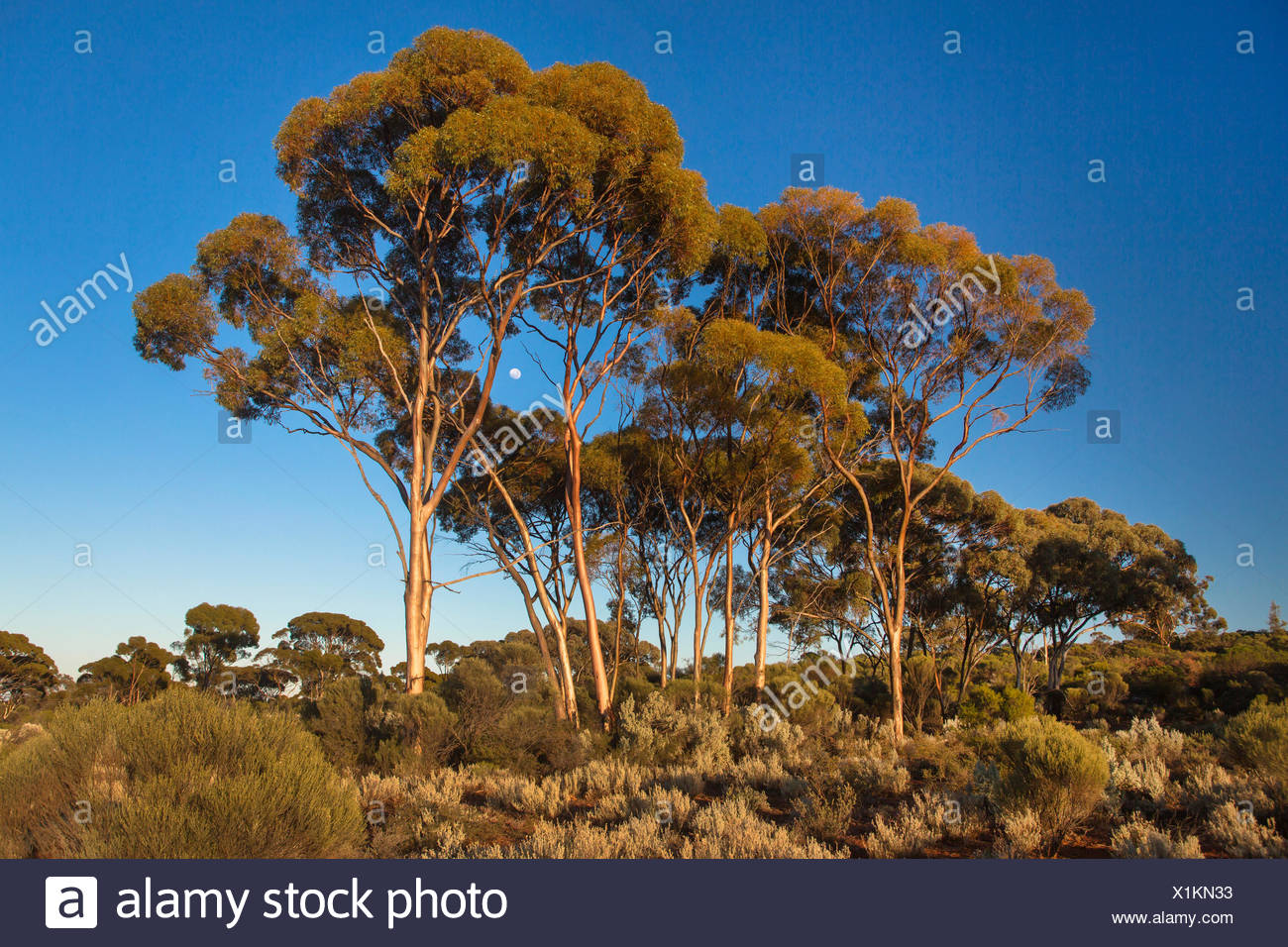 Eucalyptus Trees Stock Photos & Eucalyptus Trees Stock