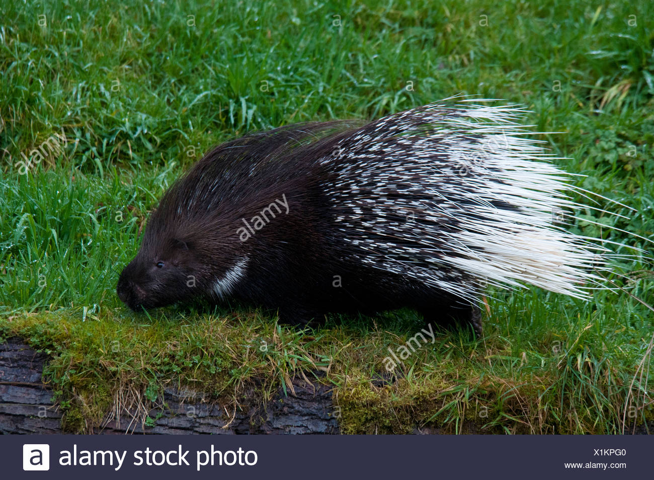 African crested porcupine, hystrix cristata, porcupine, animal, grass, USA, United States, America, - Stock Image