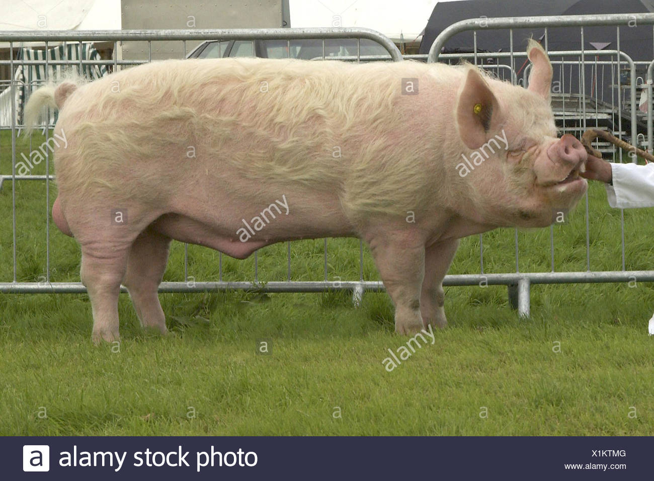 Domestic Pig Middle White boar eighteen-month old - Stock Image