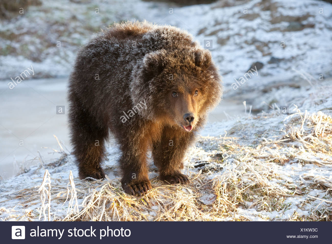 CAPTIVE: Kodiak Brown bear cub with frost covered fur standing on snowcovered ground,Alaska Wildlife Conservation Center, Alaska Stock Photo