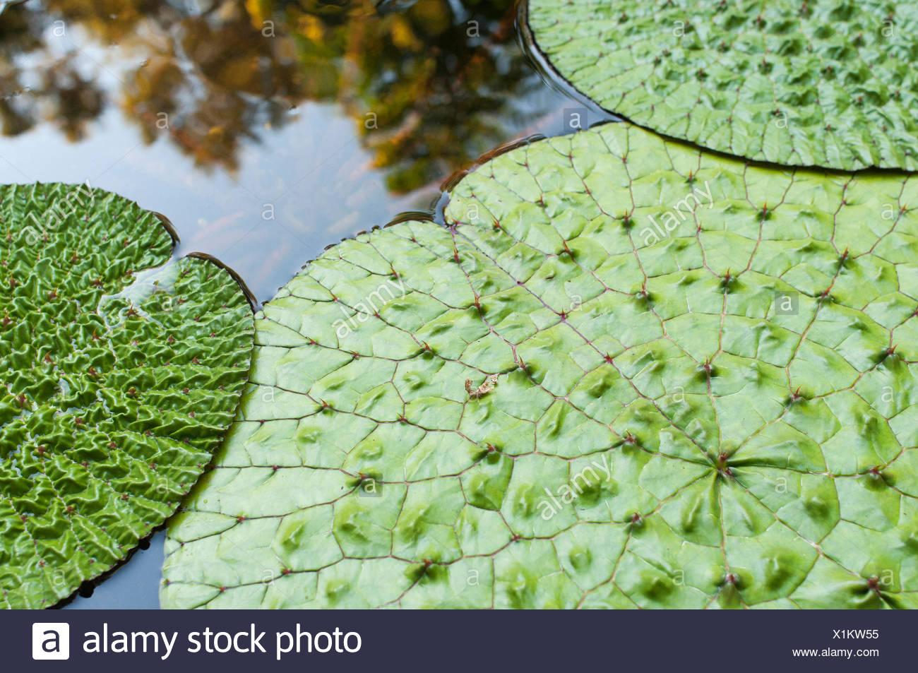 Fox Nut, Euryale ferox, Green subject. - Stock Image