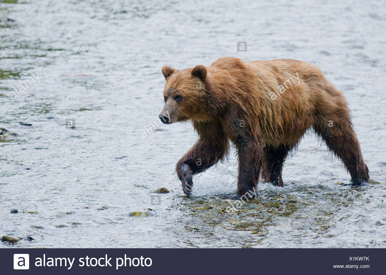 Grizzly Bear (Ursus arctos horribilis) Adult watching for salmon in spawning stream. In costal areas grizzliy frequents streams - Stock Image