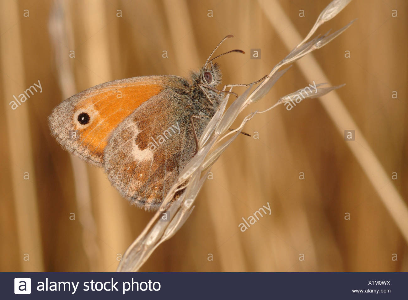 small heath (Coenonympha pamphilus), sitting at grass ear, Germany - Stock Image