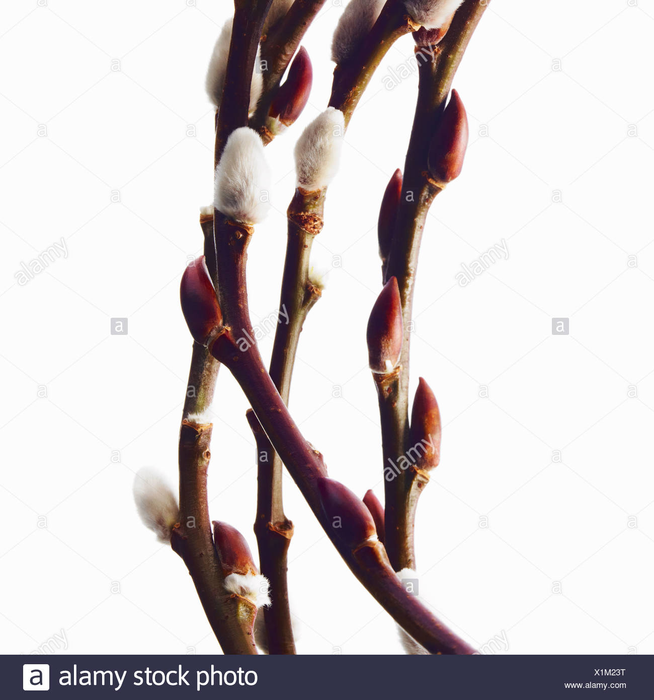 Twigs budding flowers shrubs Salix pussywillow - Stock Image