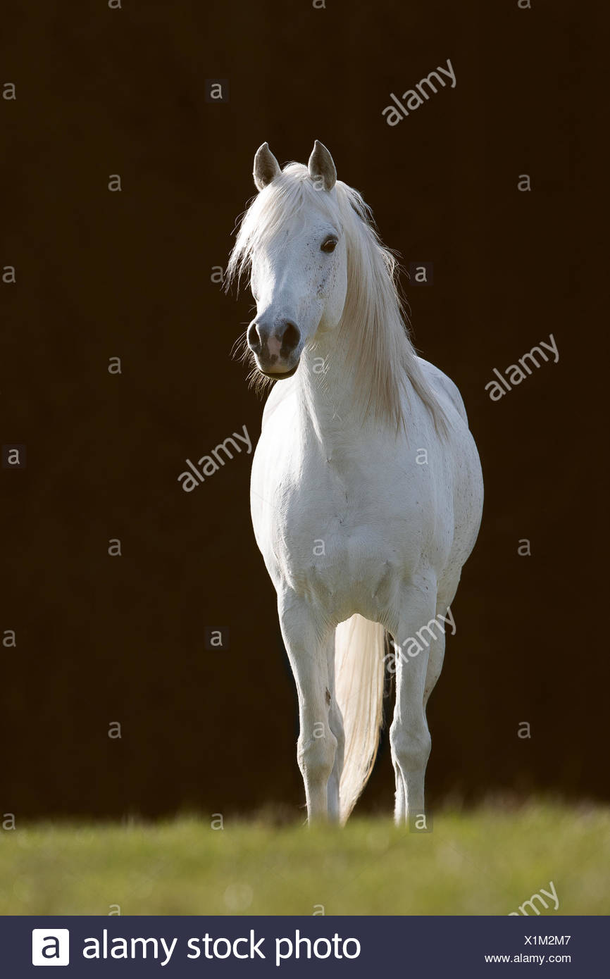 White Arabian stallion - Stock Image
