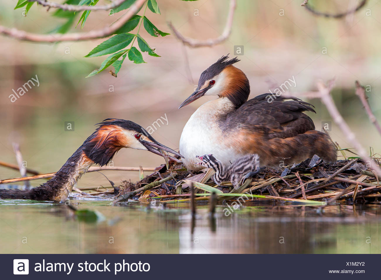Great Crested Grebes (Podiceps cristatus) feeding chick at the nest, North Hesse, Hesse, Germany - Stock Image