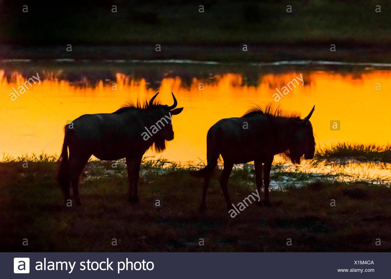 Blue wildebeest (gnu) after sunset at a watering hole, Kwando Concession, Linyanti Marshes, Botswana. Stock Photo