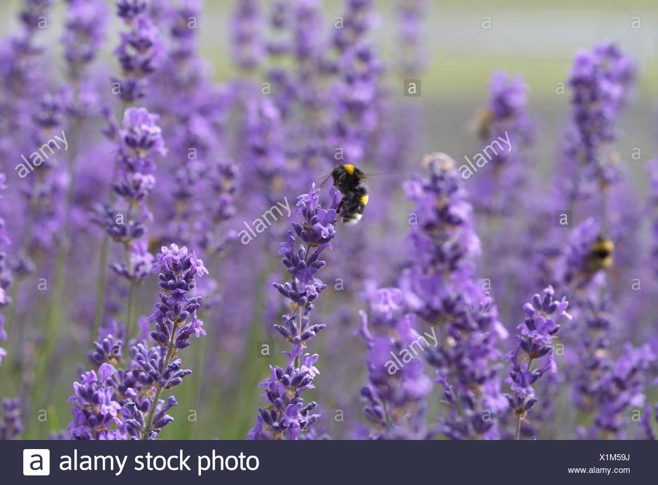 Lavenders - Stock Image