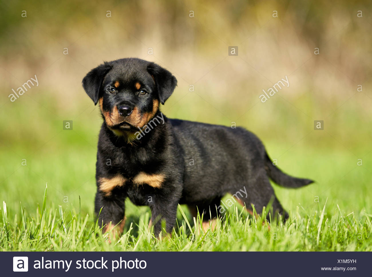 Rottweiler Puppy Standing Lawn Germany Stock Photo 276424277 Alamy
