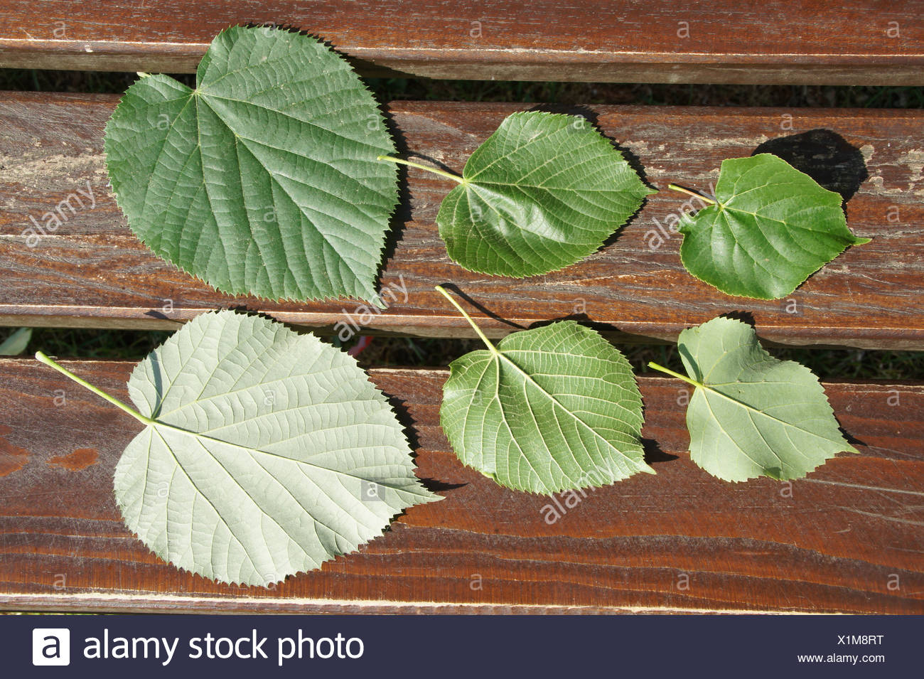 Lime leaves Stock Photo