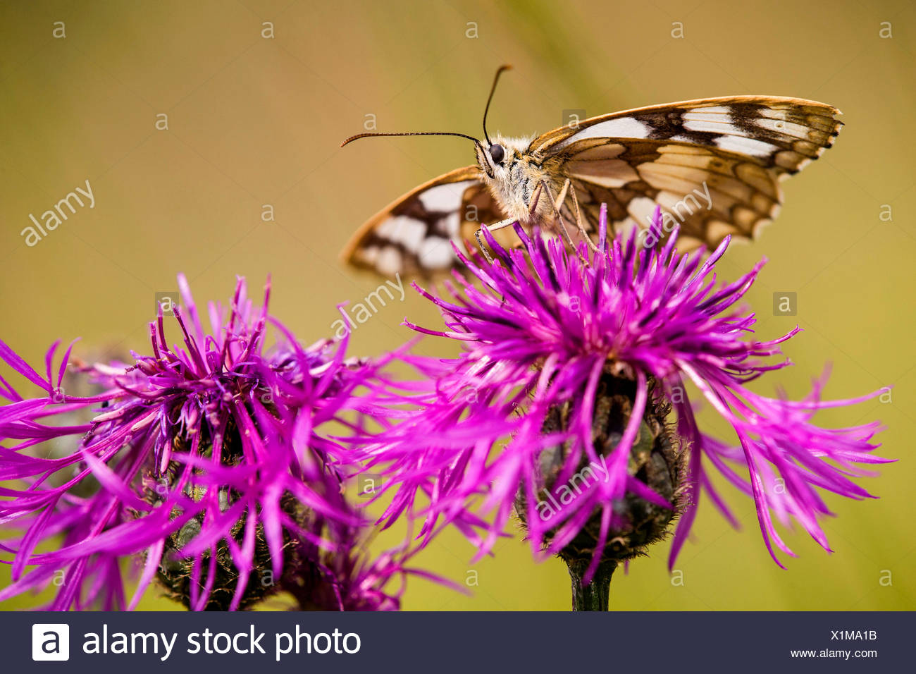 marbled white (Melanargia galathea), on Brown Knapweed, Germany, Hesse - Stock Image