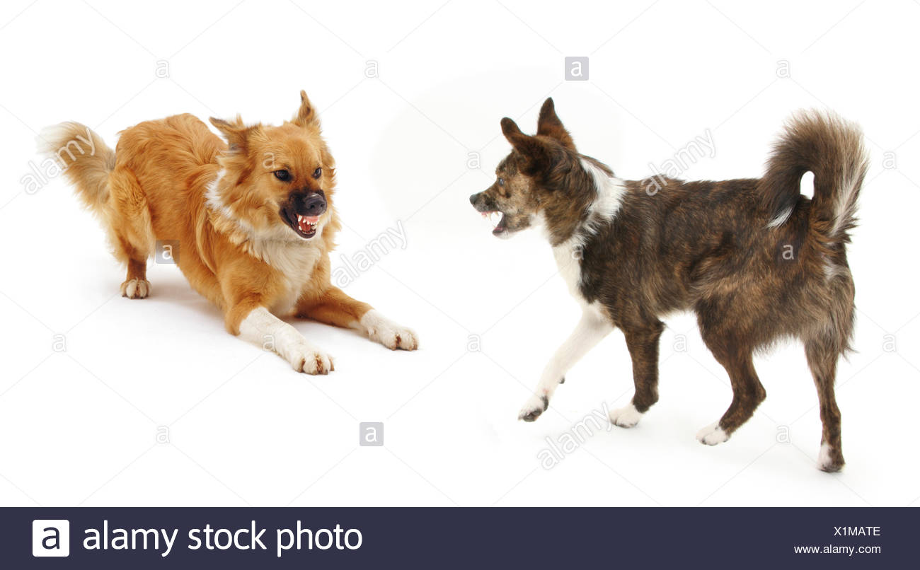 Collie cross dogs Brec and Bliss, exchanging angry snarls. Brec with hackles raised. - Stock Image