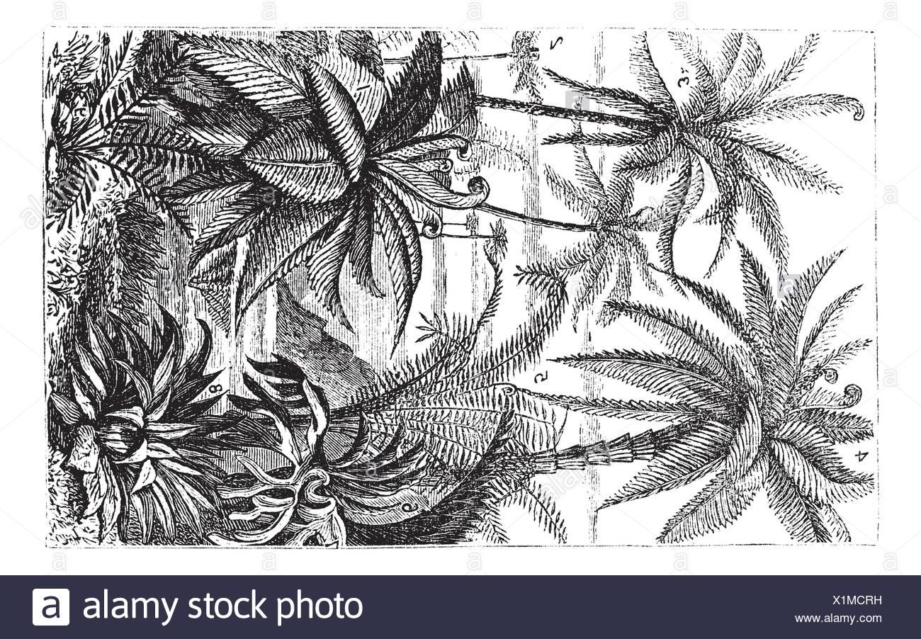 Arborescent Ferns during the Carboniferous Period, vintage engraved illustration  Trousset encyclopedia 1886 - 1891 Stock Photo