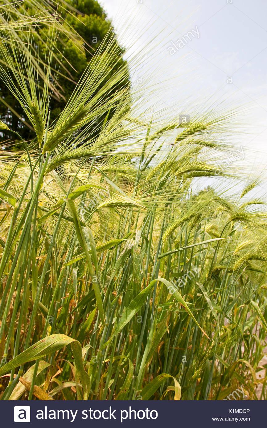 barley (Hordeum vulgare), ears, Germany - Stock Image