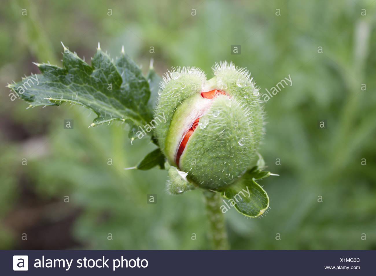 Unopened bud of poppy - Stock Image