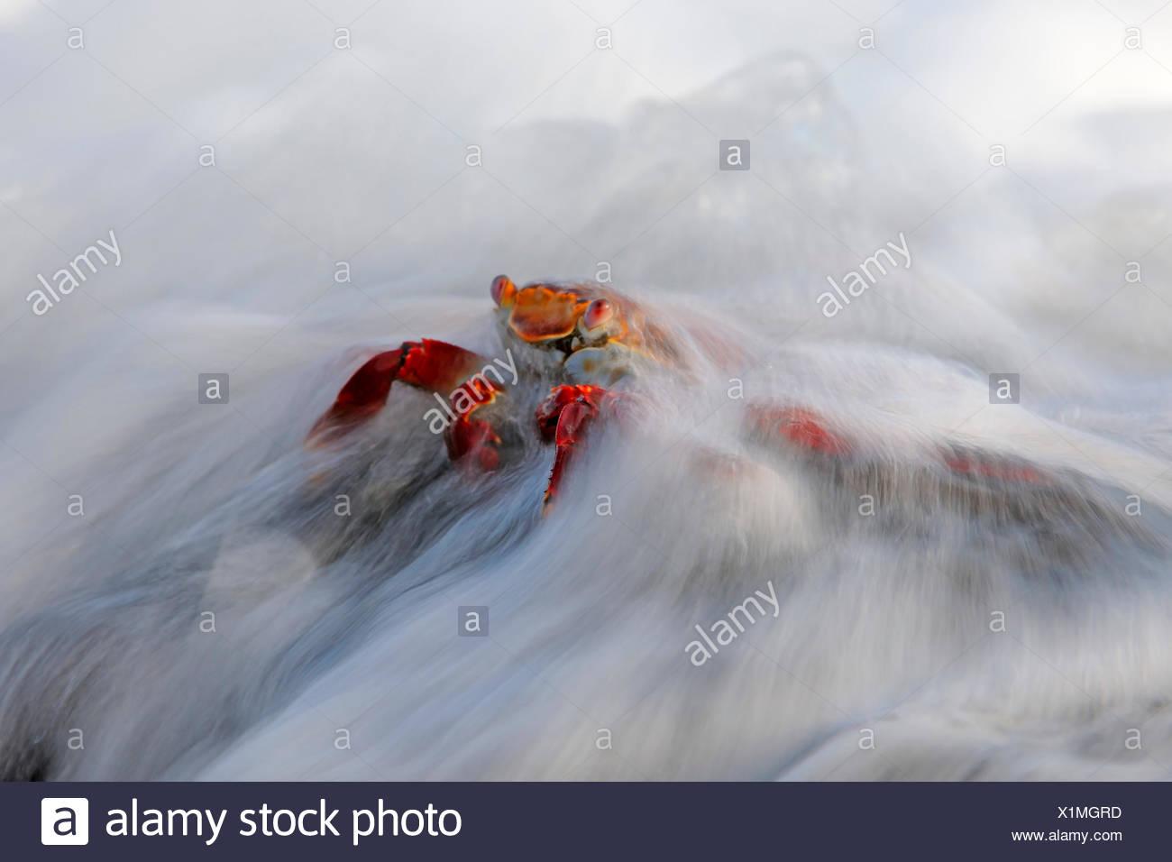 Rote Klippenkrabbe, Rote Klippen-Krabbe, Klippenkrabbe, Klippen-Krabbe, Felsenkrabbe, Felsen-Krabbe, Rote Felsenkrabbe, Quadrat- - Stock Image