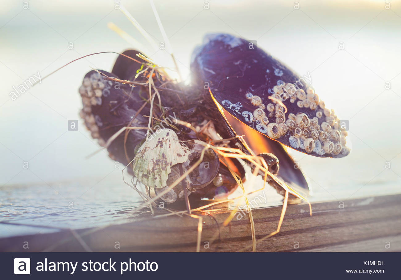 Close-up of filthy clams - Stock Image
