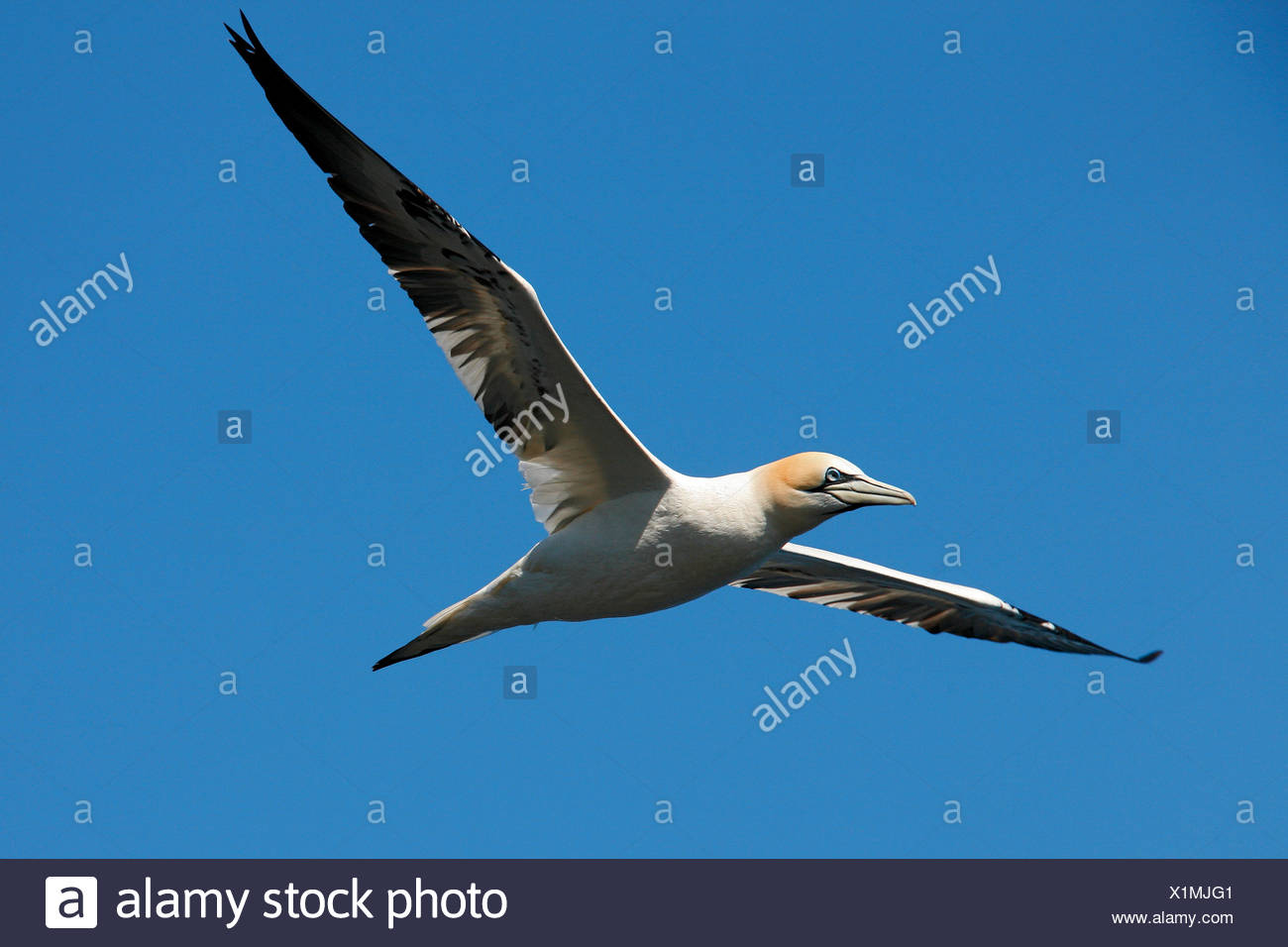 Northern gannet - flying / Morus bassanus - Stock Image