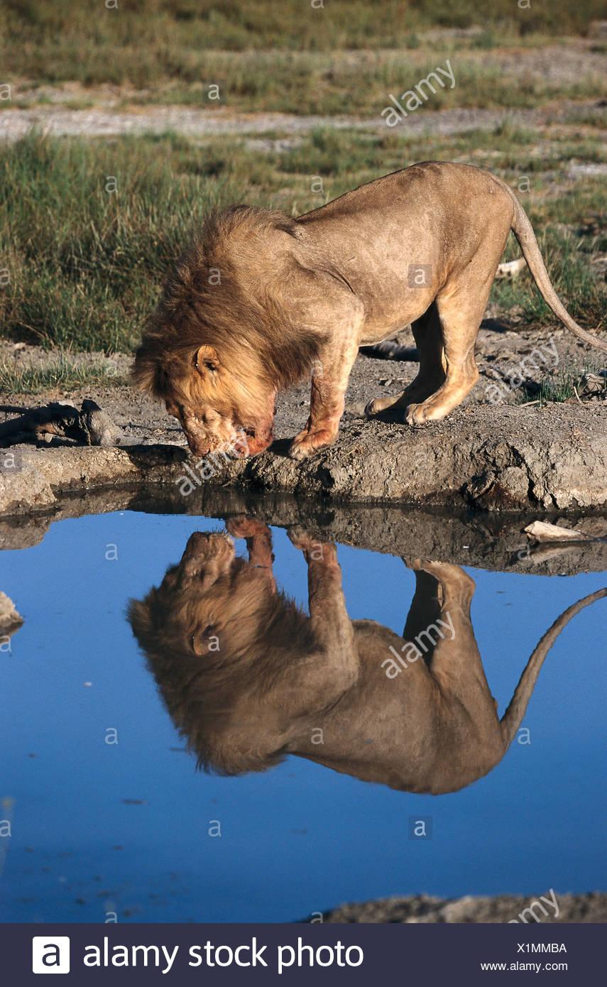 Lion trinking, Reflexion, Serengeti NP Tansania - Stock Image