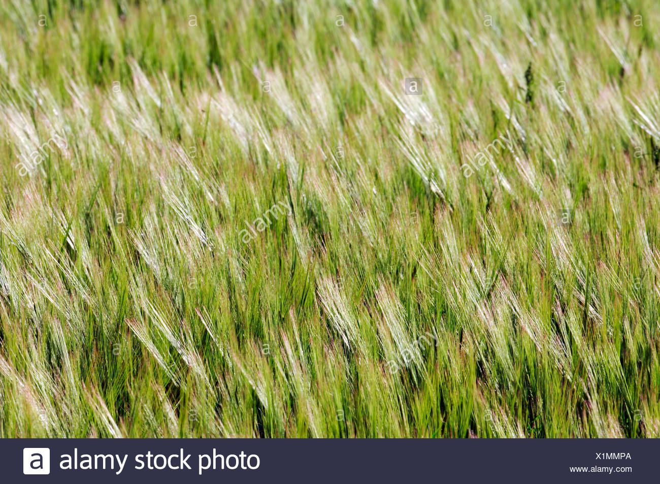 Grain field, ears of corn, ears of grain - Stock Image