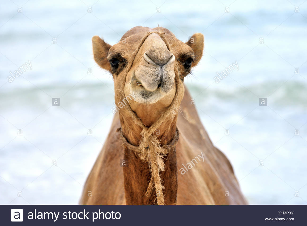Funny Camel gritting its teeth - Stock Image