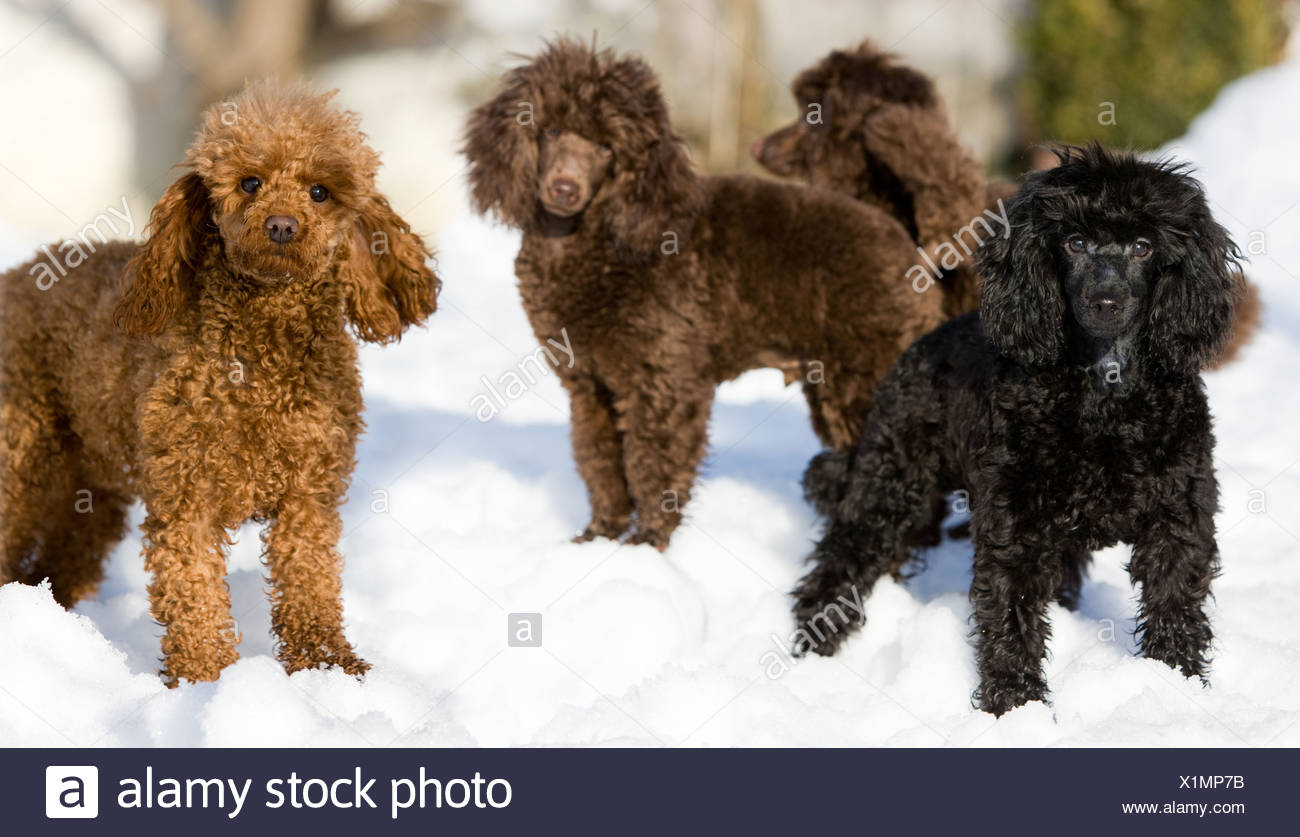 Toy Poodles standing in the snow, North Tyrol, Austria, Europe - Stock Image
