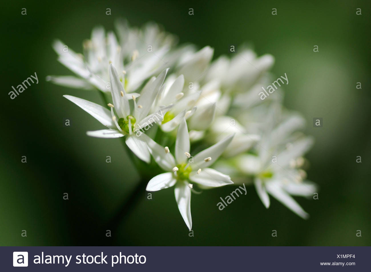 Ramson (Allium ursinum), umbel-shaped inflorescence Stock Photo