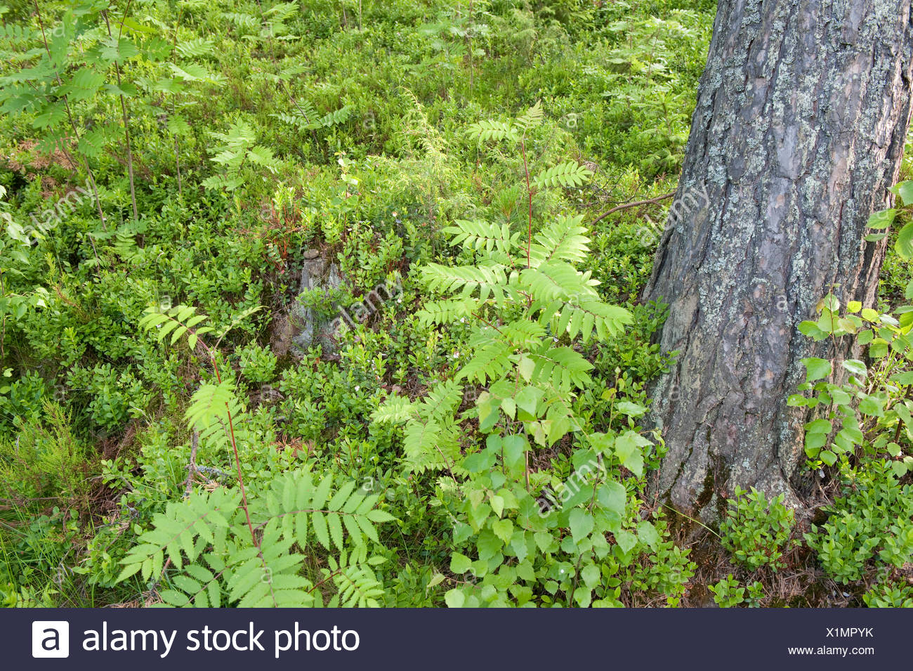 Woodland floor with ferns, Sujonenjoki, nr Kuopio Finland - Stock Image