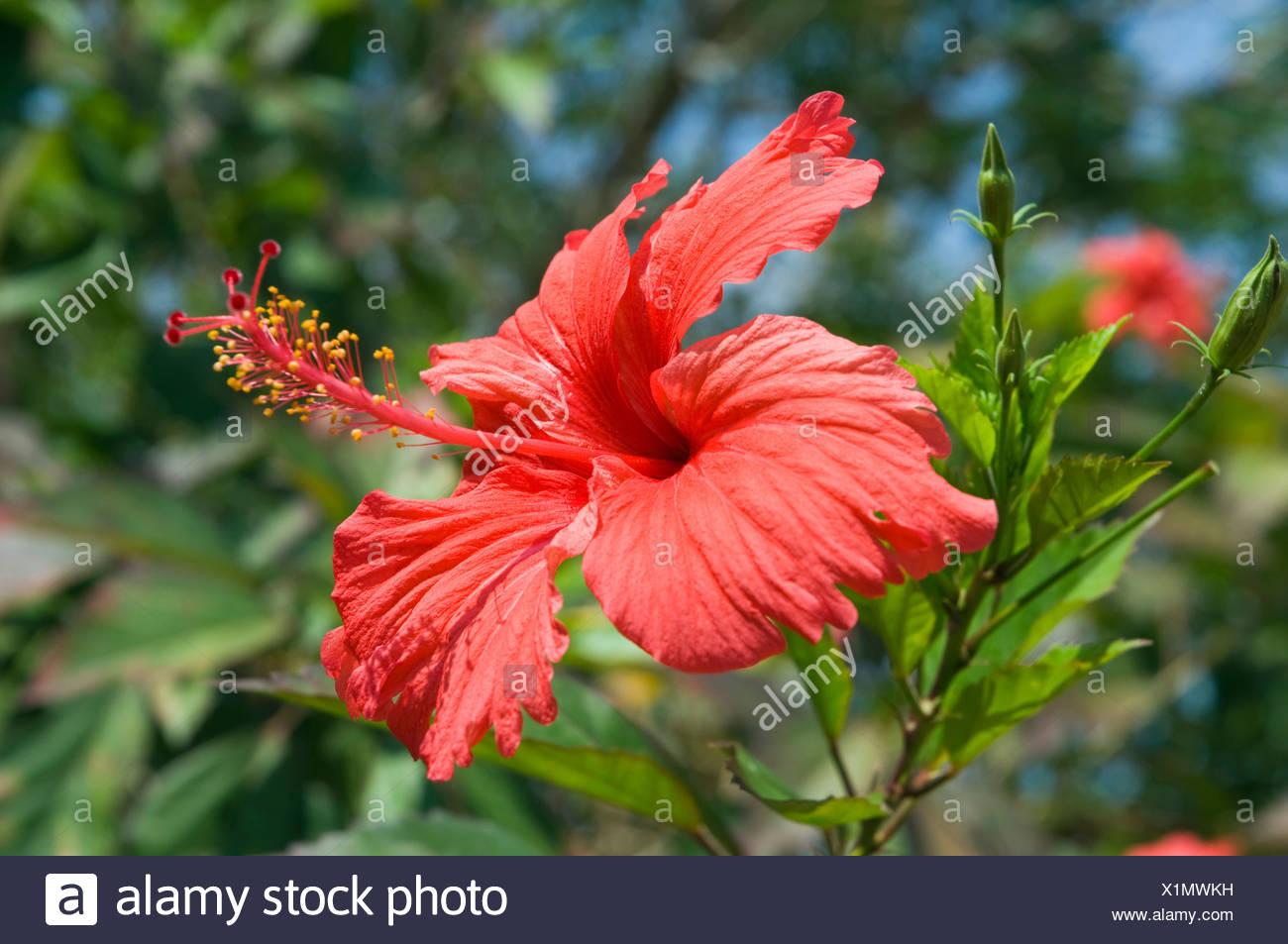 Hibiscus island stock photos hibiscus island stock images alamy red hibiscus flower hibiscus island of ko lanta koh lanta krabi izmirmasajfo Gallery
