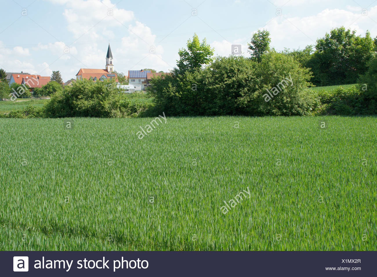 Wheat-field in spring - Stock Image