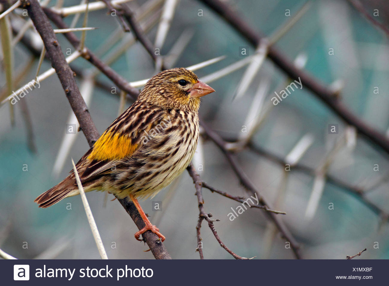 Yellow-rumped bishop (Euplectes capensis), young male sitting in a thorn bush, South Africa, Namaqua National Park - Stock Image