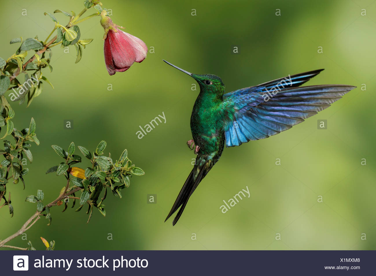 Great Saphirewing (Pterophanes cyanopterus) flying and feeding at a flower in the mountains of Colombia, South America. - Stock Image